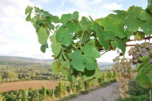 Sonnenverwöhnte Trauben – Top Qualitäten